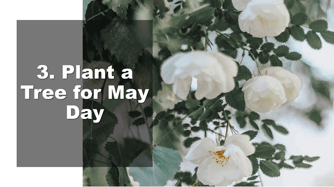 Plant a Tree for May Day - How to Celebrate May Day - Mr. BD Guide